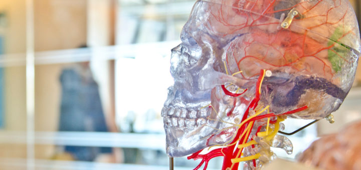 Fotoet viser en hjerne af plastik. Siden handler om PTSD og de fysiske processer i hjernen. Fotoet er taget af Jesse Orrico.